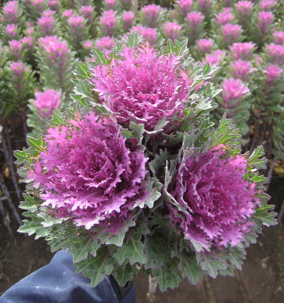Brassica Oleracea de floare taiata