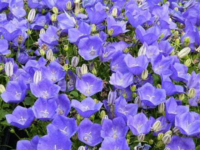 clopotei campanula carpatica blue