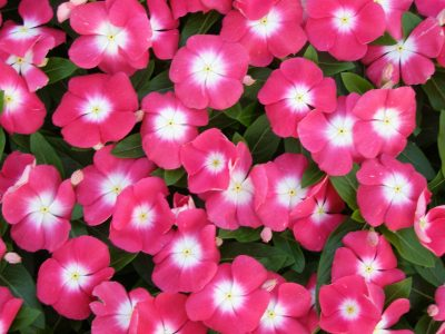 Vinca Hybrida -| vinca pacifica cherry red halo