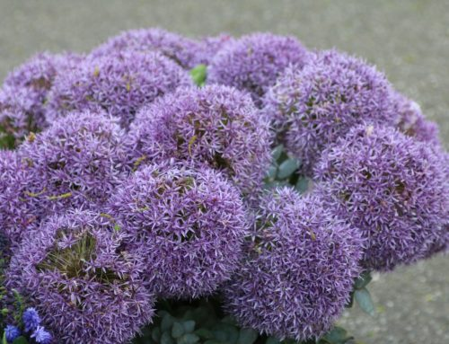 Allium – Ceapa decorativa