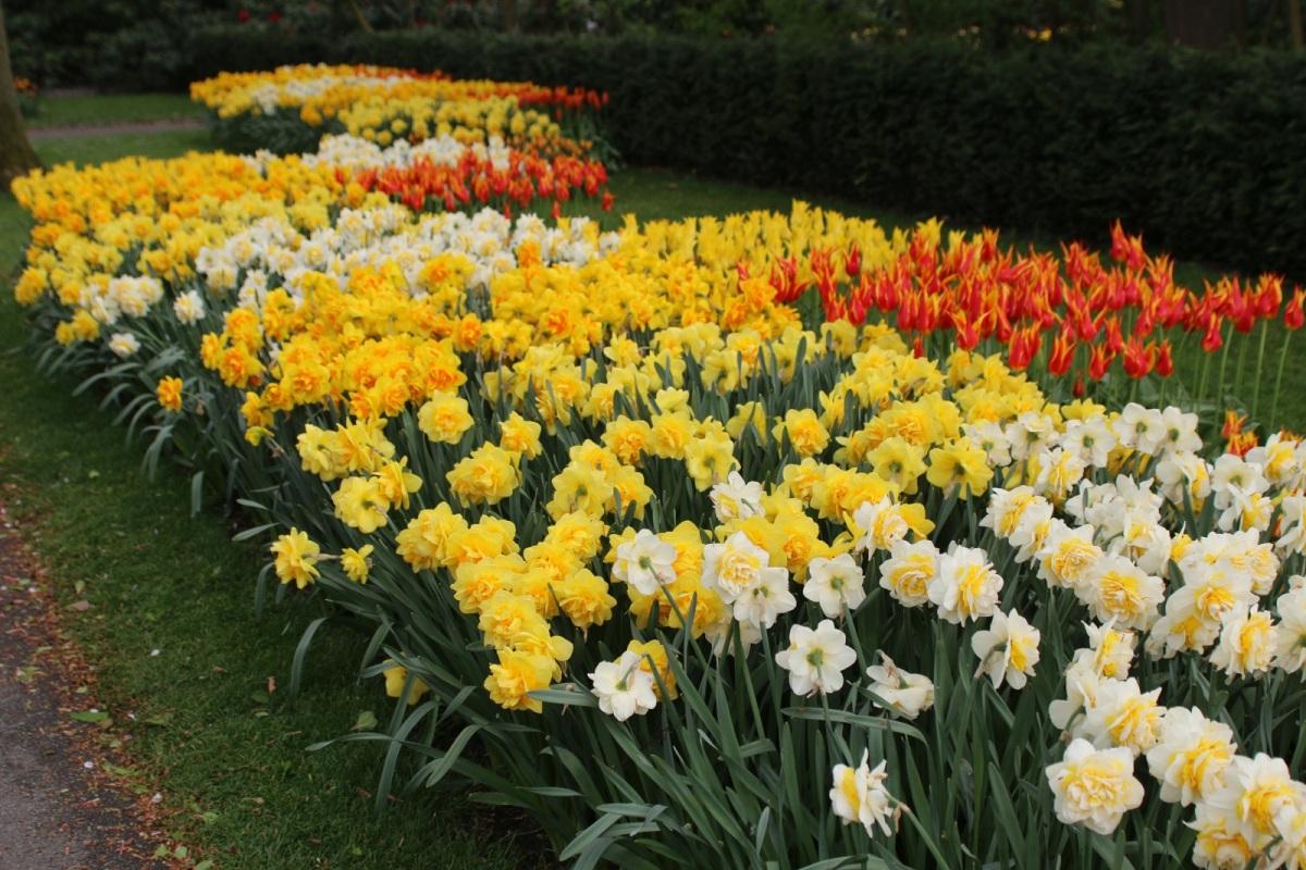 Narcise plantare si ingrijire