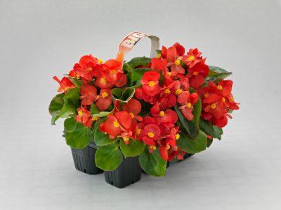 Begonia Semperflorens Ghetisoara