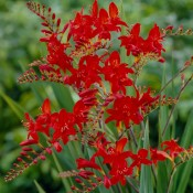 Bulbi Crocosmia