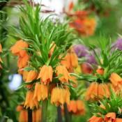 Bulbi Fritillaria