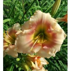 Plante Hemerocallis Fairy s Petticoat -Crin de o zi