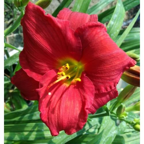 Plante Hemerocallis Woodside Fire Dance -Crin de o zi
