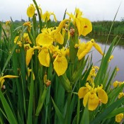 Iris spuria si pseudacorus