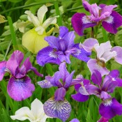 Iris sibirica si I. ensata