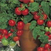 Seminte legume si plante aromatice