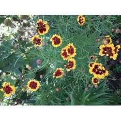 Plante anulale - Coreopsis
