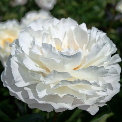 Plante- Bujor hybrid Gardenia