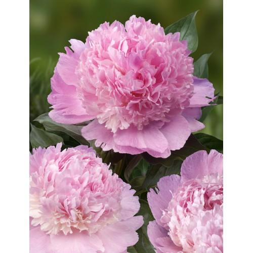 Plante- Bujor hybrid Angel Cheeks