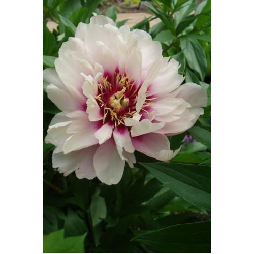 Plante- Bujor itoh Cora Louise