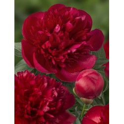 Plante- Bujor hibrid Diana Parks