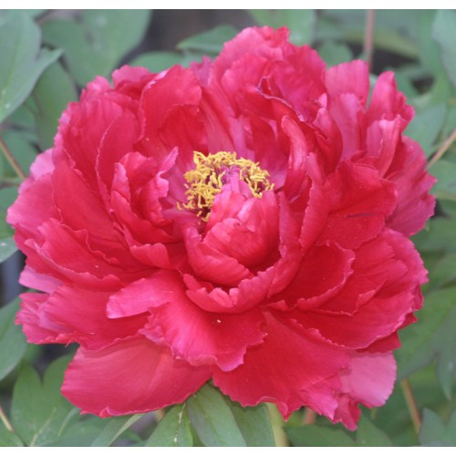Plante- Bujor arbustiv Red