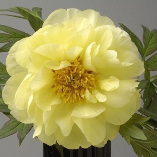 Bujor arbustiv Yellow