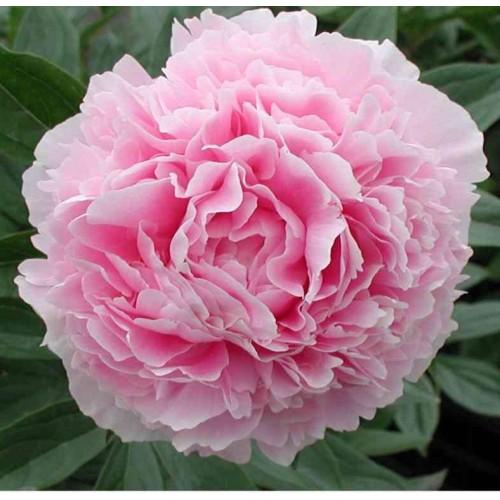 Plante- Bujor hibrid Sarah Bernhardt