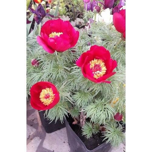 Plante- Bujor tenuifolia Bujor de stepa