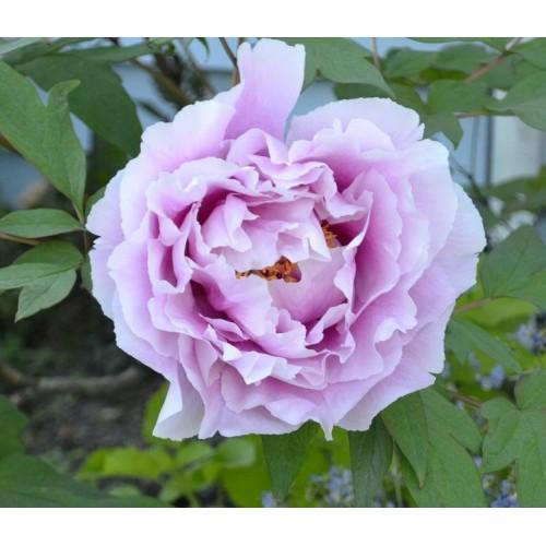 Plante- Bujor arbustiv Lavender
