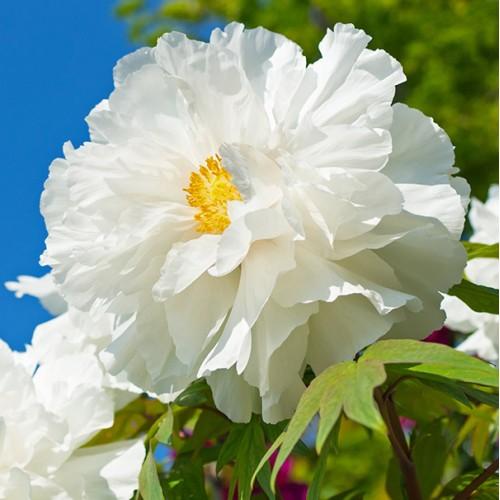 Plante- Bujor arbustiv White