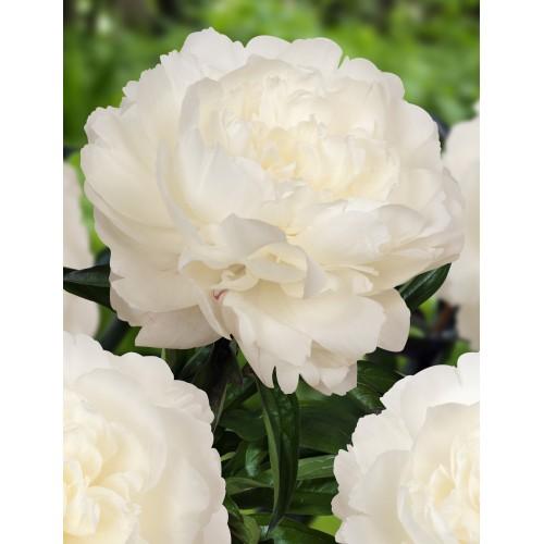 Plante- Bujor hybrid Ann Cousins