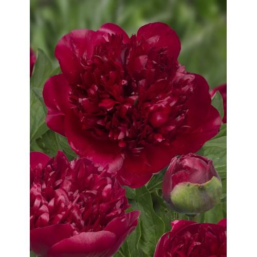 Plante- Bujor hybrid Christmas Velvet