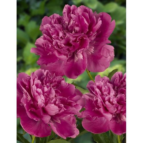 Plante- Bujor hybrid Edulis Superba -bujor