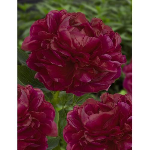 Plante- Bujor hybrid Henry Bockstoce
