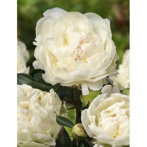 Plante- Bujor hibrid Kelways Glorious