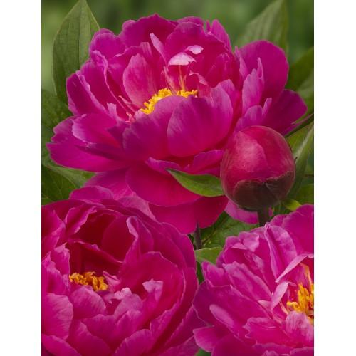 Plante- Bujor hybrid Nice Gal