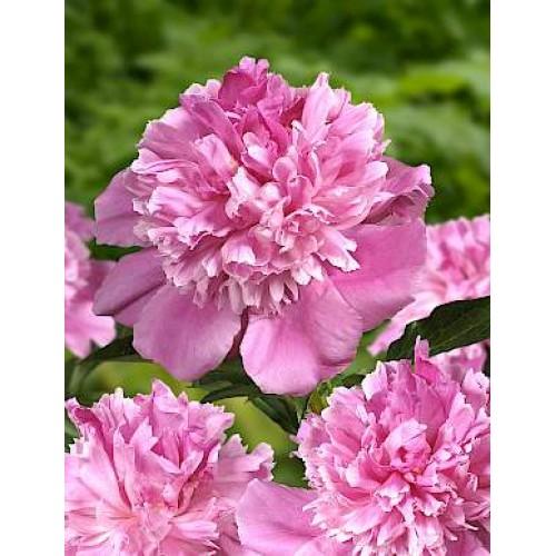 Plante- Bujor hibrid Bouquet Perfect