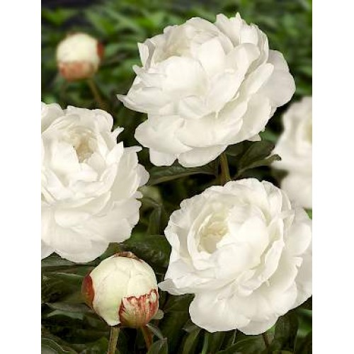 Plante- Bujor hybrid Elsa Sass