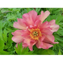 Plante- Bujor itoh Julia Rose