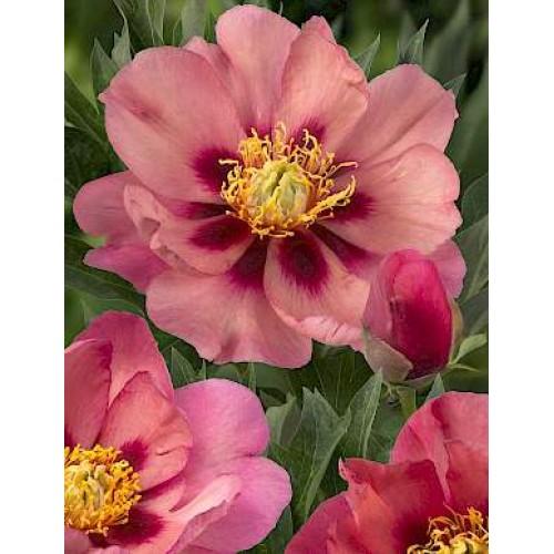 Plante- Bujor itoh Old Rose Dandy