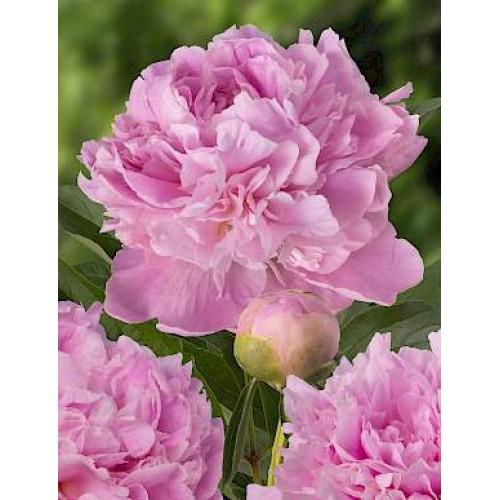 Plante- Bujor hibrid Mary Brand