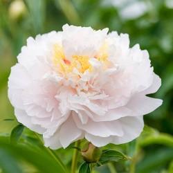 Plante- Bujor hibrid My Love