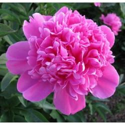 Plante- Bujor hibrid Amabilis