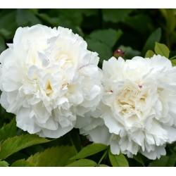 Plante- Bujor hibrid Ducesse de Nemours