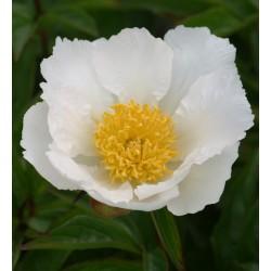 Plante- Bujor hibrid Krinkled White