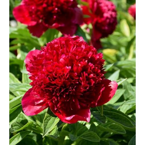 Plante- Bujor hybrid Red Charm
