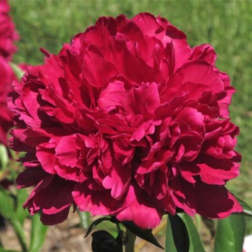 Plante- Bujor hybrid Paul M Wild
