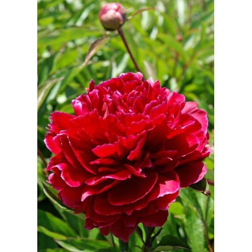 Plante- Bujor hybrid Red Sarah Bernhardt