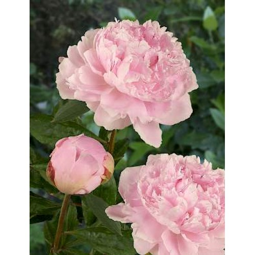Plante- Bujor hibrid Sarah Bernhardt Select