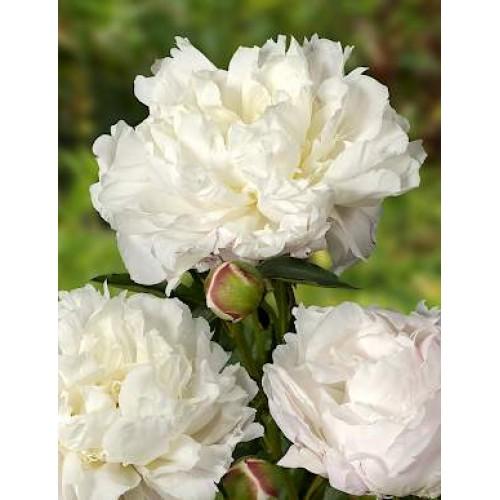 Plante- Bujor hibrid Shirley Temple