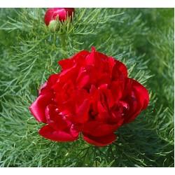 Plante- Bujor tenuifolia Plena -Bujor de stepa