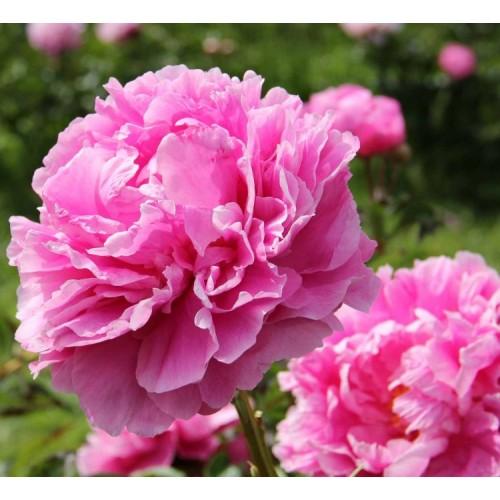 Plante- Bujor hybrid Alexander Fleming