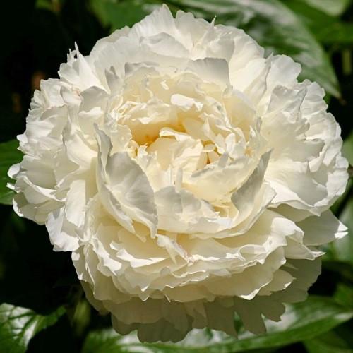 Plante- Bujor hybrid Bowl of Cream