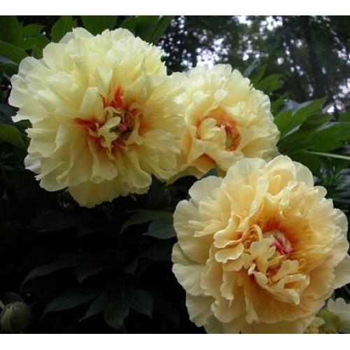 Plante- Bujor itoh Garden Treasure