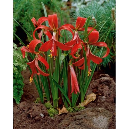Sprekelia formossisima Aztec lily - Bulbi la ghiveci