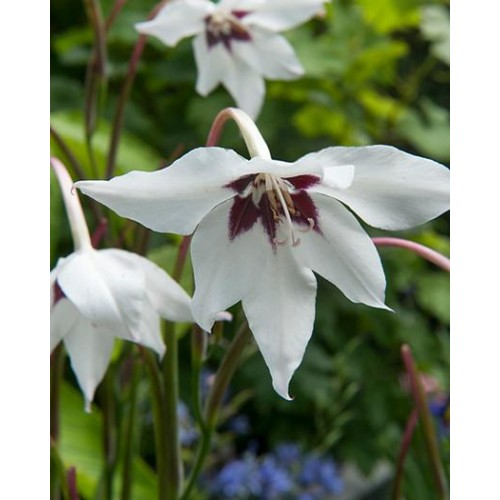 Bulbi Gladiolus-Acidanthera-callianthus Murielae -pachet 10 bucati